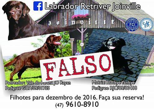 Labrador Retriver Joinville