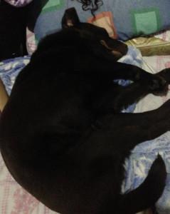 Foto Labrador 3 (deitado por dor)